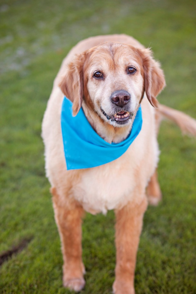 """After he got sprung from a shelter, Rocky moved into the memory care unit of an assisted living facility on a full-time basis. There, the golden retriever helped and supported a group of women with dementia. (Copyright Lori Fusaro / """"My Old Dog"""")"""