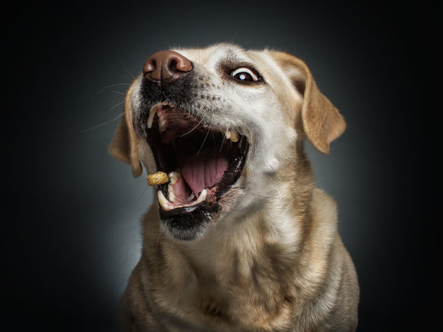 PIC BY FOTOS FREI SCHNAUZE / CATERS NEWS - (PICTURED: A labrador retriever.) A photographer has captured a series of paw-traits of hungry dogs pulling hilarious faces as they try and catch treats. Using the unique technique, the shots are captured at the exact moment the adorable pooches attempt to catch an airborne piece of food. In the shots the dogs appear surprised, happy, sad, confused - or even so unbothered they miss the treat entirely. The images were taken by Christian Vieler, a photographer from Waltrop, near Dortmund, Germany. - SEE CATERS COPY