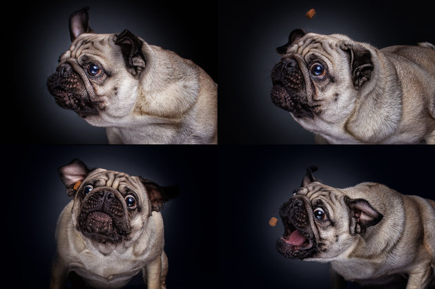 PIC BY FOTOS FREI SCHNAUZE / CATERS NEWS - (PICTURED: A Pug.) A photographer has captured a series of paw-traits of hungry dogs pulling hilarious faces as they try and catch treats. Using the unique technique, the shots are captured at the exact moment the adorable pooches attempt to catch an airborne piece of food. In the shots the dogs appear surprised, happy, sad, confused - or even so unbothered they miss the treat entirely. The images were taken by Christian Vieler, a photographer from Waltrop, near Dortmund, Germany. - SEE CATERS COPY