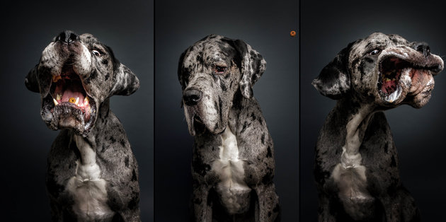 PIC BY FOTOS FREI SCHNAUZE / CATERS NEWS - (PICTURED: A Great Dane.) A photographer has captured a series of paw-traits of hungry dogs pulling hilarious faces as they try and catch treats. Using the unique technique, the shots are captured at the exact moment the adorable pooches attempt to catch an airborne piece of food. In the shots the dogs appear surprised, happy, sad, confused - or even so unbothered they miss the treat entirely. The images were taken by Christian Vieler, a photographer from Waltrop, near Dortmund, Germany. - SEE CATERS COPY