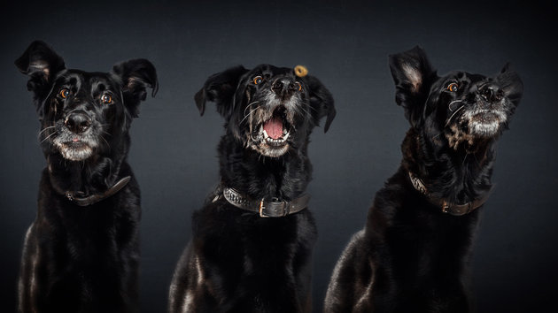 PIC BY FOTOS FREI SCHNAUZE / CATERS NEWS - (PICTURED: A half-breed dog.) A photographer has captured a series of paw-traits of hungry dogs pulling hilarious faces as they try and catch treats. Using the unique technique, the shots are captured at the exact moment the adorable pooches attempt to catch an airborne piece of food. In the shots the dogs appear surprised, happy, sad, confused - or even so unbothered they miss the treat entirely. The images were taken by Christian Vieler, a photographer from Waltrop, near Dortmund, Germany. - SEE CATERS COPY