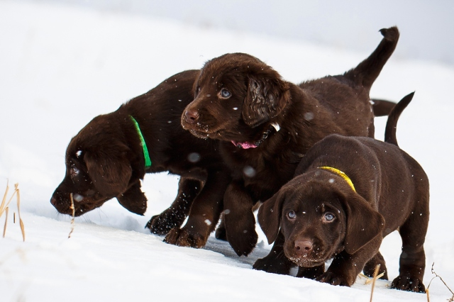 Daily Dose - February 16, 2016 - Winter Trio - Chocolate Lab Puppies 2016©Barbara O'Brien Photography