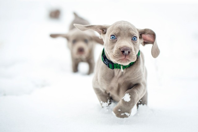 Daily Dose - January 30, 2016 - Snow Dash - Weimaraner Puppies 2016©Barbara O'Brien Photography