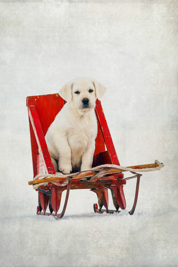 Daily Dose - January 20, 2016 - Along for the Ride - Yellow Lab Puppy 2016©Barbara O'Brien Photography